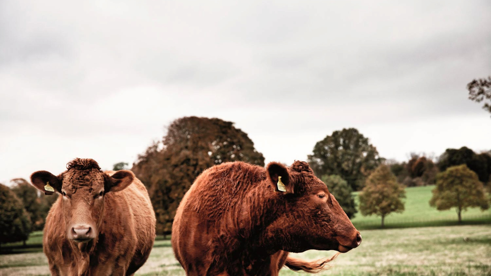 Cows at Daylesford, the Cotswolds