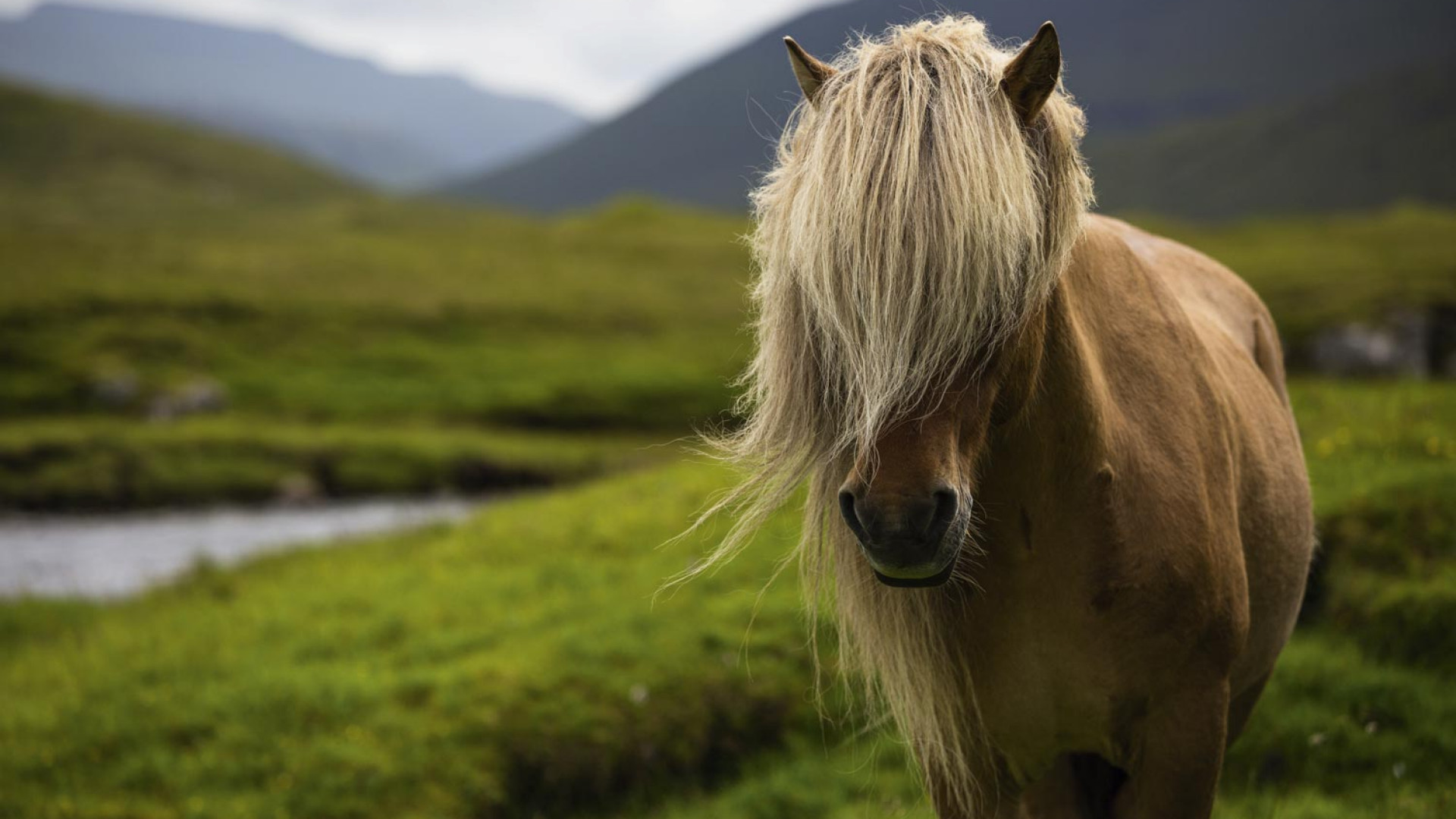 A Faroese pony