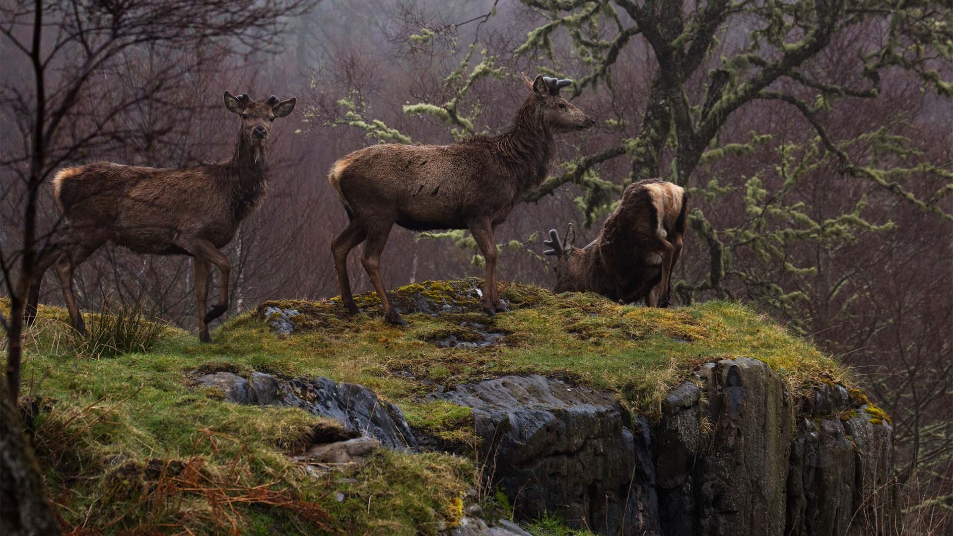 Deer in Alladale, Scotland