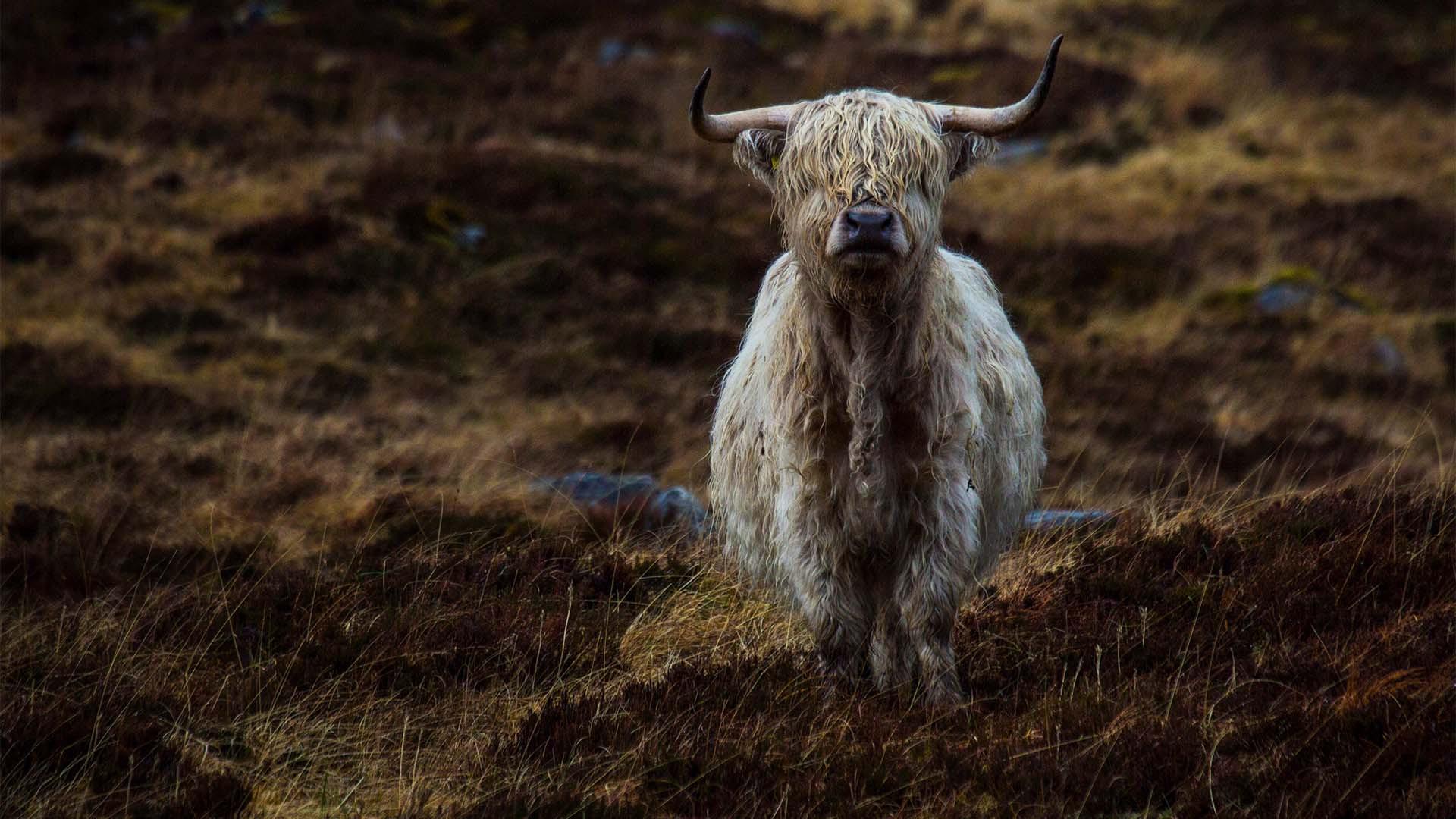 Highland cow in Alladale, Scotland