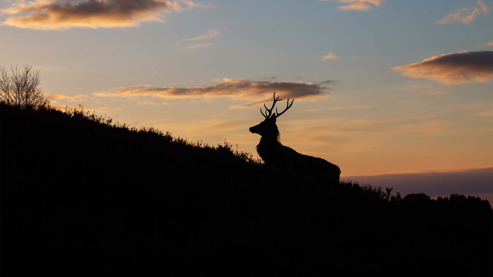 Stag at sunset in Alladale, Scotland
