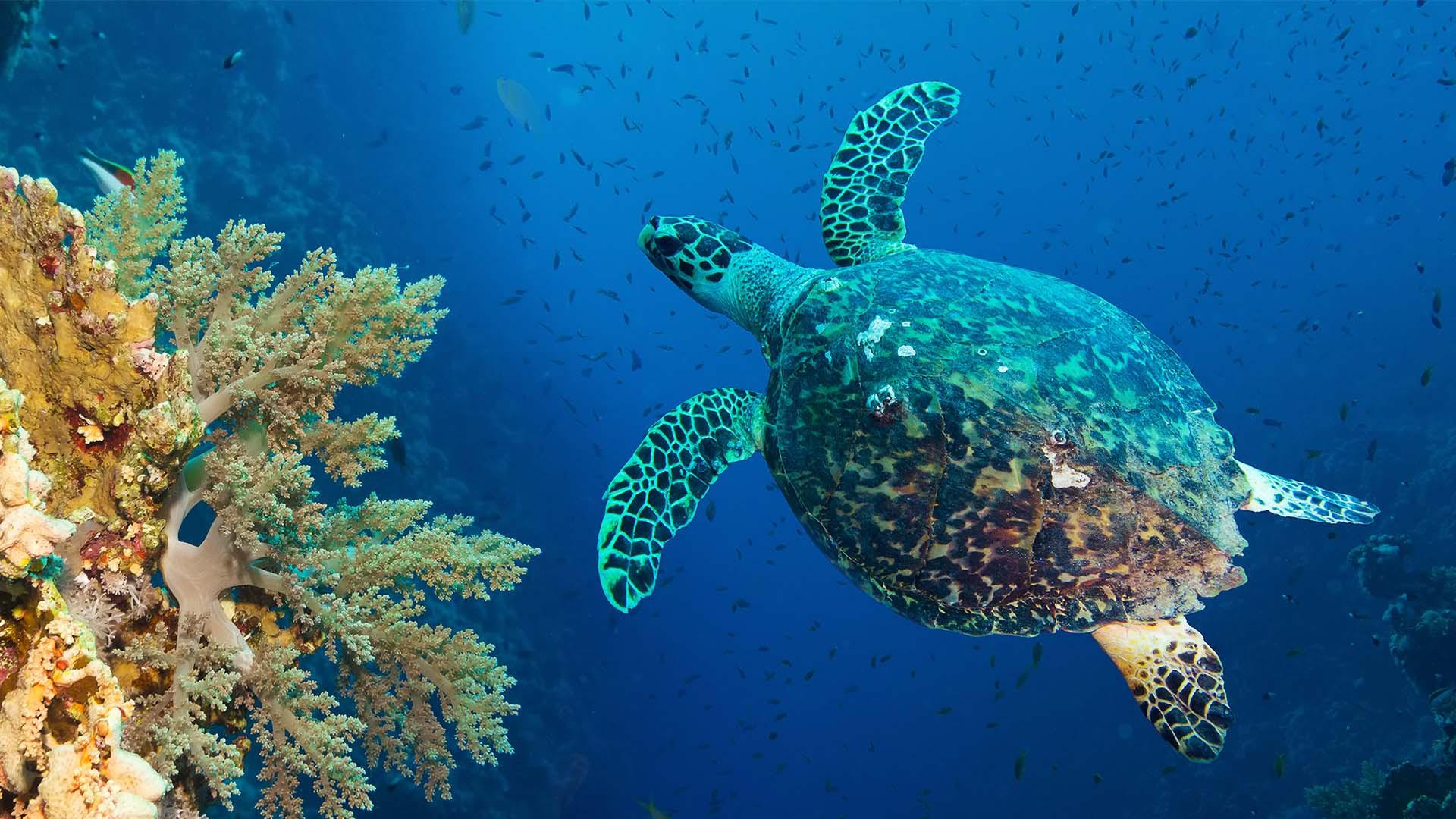 Hawksbill turtle at Coco Bodu Hithi, Maldives
