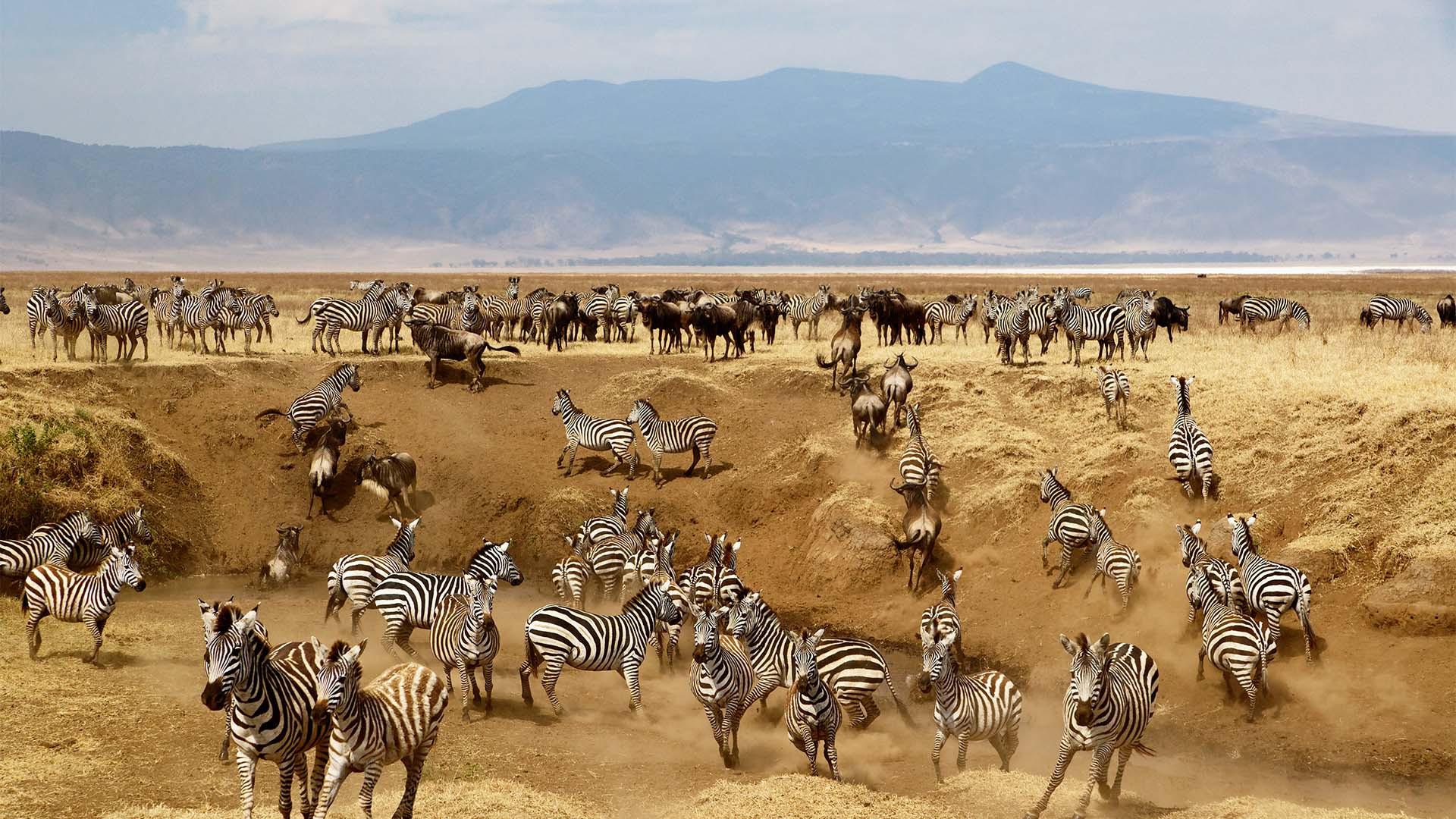 A herd of wild zebra in Tanzania's Ngorongoro Crater
