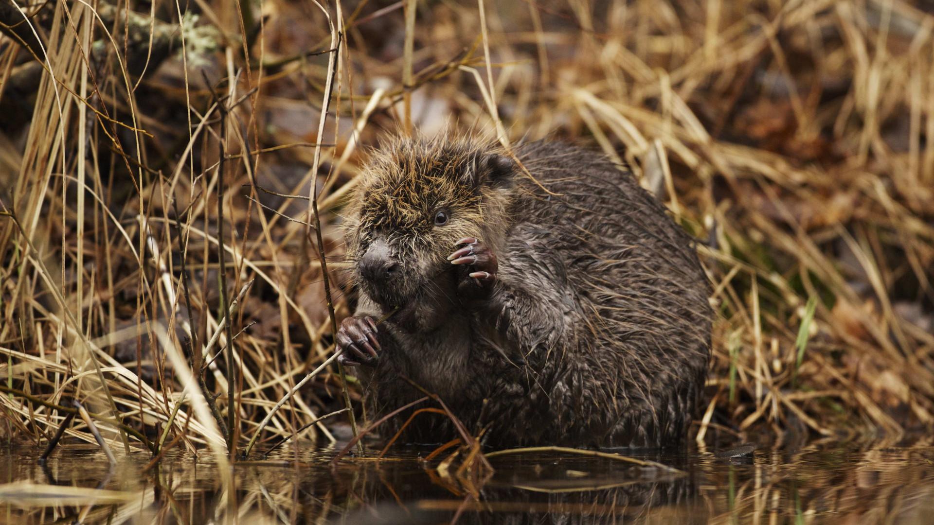 A beaver in Sweden