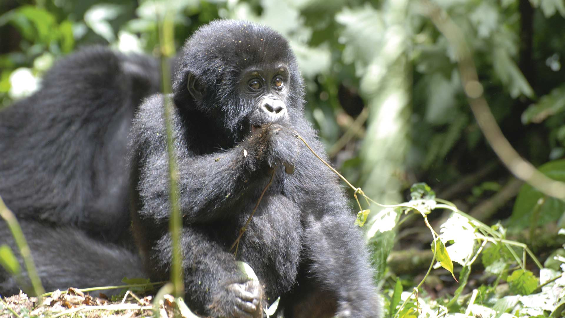 A baby gorilla in the Bwindi Impenetrable Forest, Uganda