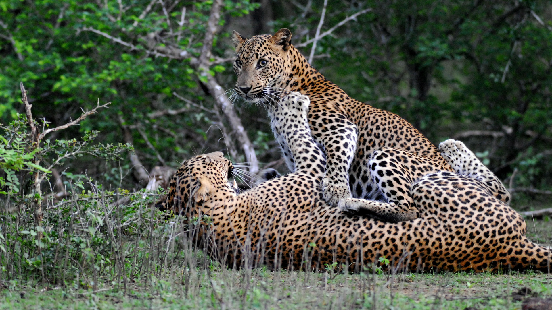 Leopards in Yala National Game Reserve, Sri Lanka