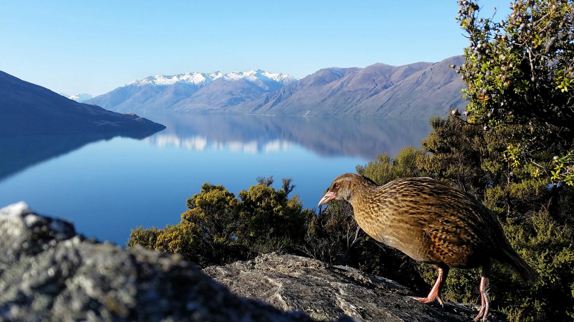 A rare bird on Mou Waho, Lake Wanaka
