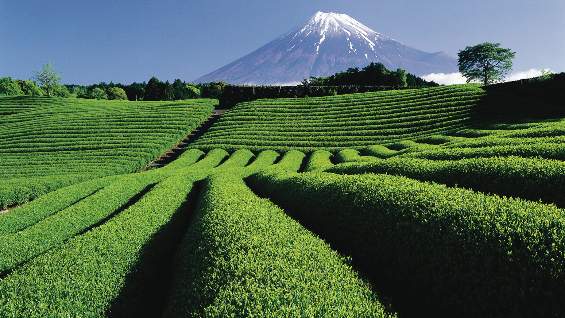 Japan Rugby World Cup 2019: Mt Fuji and the Shizuoka Tea fields