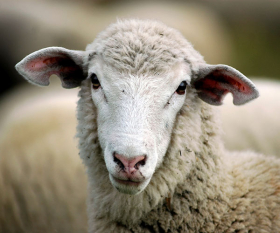sheep-featured