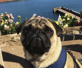 Welly the pug at the Cary Arms' scenic coastal terrace
