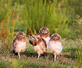 An awkward family of owls