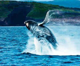 Breaching humpback whale, Newfoundland, Canada