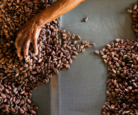 Grenada food and drink: sieving cocoa beans in a chocolate factory