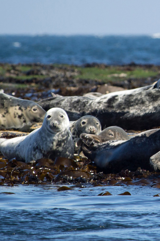 Grey Seals on Lindisfarne