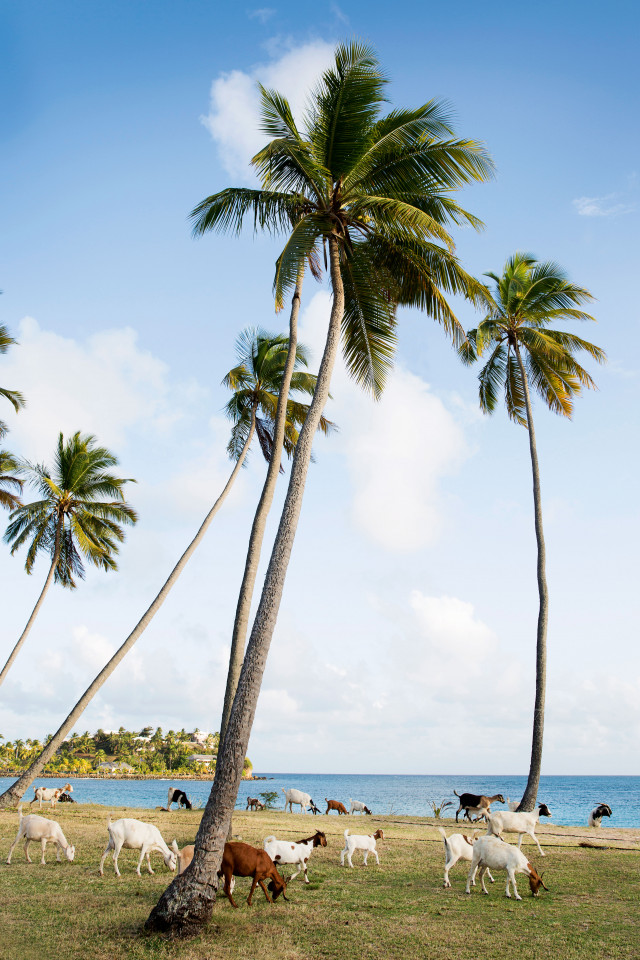 Palm trees and goats on the island of Antigua