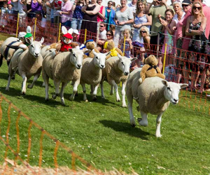 Sheep Racing Festival