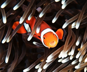 A clownfish at the Great Barrier Reef