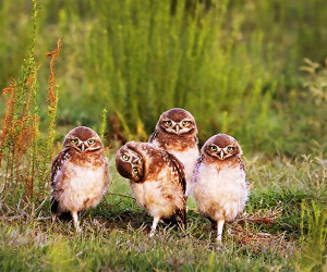 An awkward family of owls