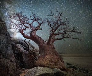 Baobab in front of a star-filled sky