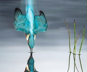 Kingfisher diving