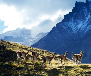 Guanacos in Patagonian hill country