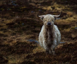 Highland cow in Alladale, Scotland