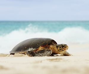 A sea turtle in Seychelles