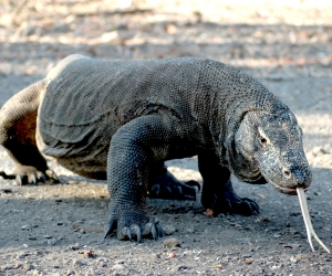 A komodo dragon in indonesia