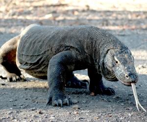 A komodo dragon in indonesia