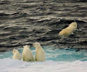 Polar bears. Steve Davey